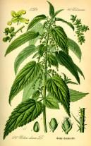 Original book source: Prof. Dr. Otto Wilhelm Thomé Flora von Deutschland, Österreich und der Schweiz 1885, Gera, Germany