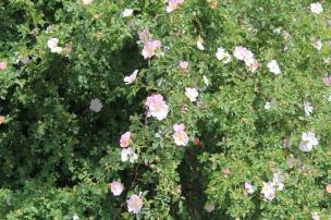 Rosa silvestre en Primavera (Foto Fundación Cerezales)