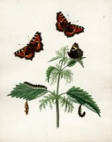 "Small Tortoiseshell Butterfly, Caterpillar and Chrysalis Aglais urticae, Nettle Urtica dioica. ""Papilio Urticae, Tortoise-shell Butterfly"". Watercolour. Artist: Katherine Plymley. Shrewsbury Museums Service (PLYMLEY: 018). Image sy4867. From nature July 1821. K.P. Male and female with the caterpillar which feeds on nettle, and the chrysalis."