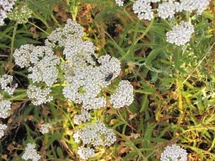 BAlsamina o milenrama en flor