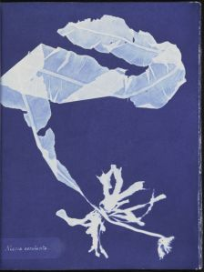 Alaria esculenta-Cianotipo de Anna Atkins