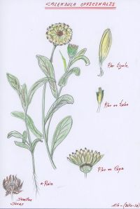 Dibujo de la Caléndula de Elo Viejo