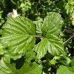 Rubus sp. - Zarzamora (1)