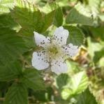 Rubus sp. - Zarzamora (2)