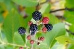 Rubus sp. - Zarzamora (4)